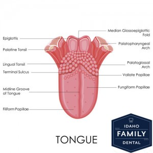 A diagram explaining all of a tongue.